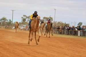 Boulia Camel Races 2 coming down the track