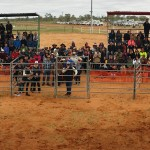 Camel Tagging at Boulia Camel Races